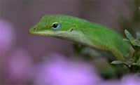 Anoles/Frogs